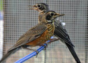 NJ robin rescue