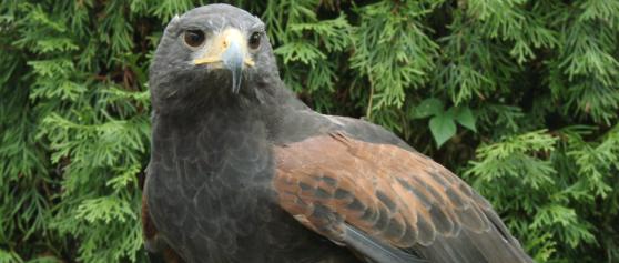 Cheyenne, North America's oldest known captive Harris's Hawk