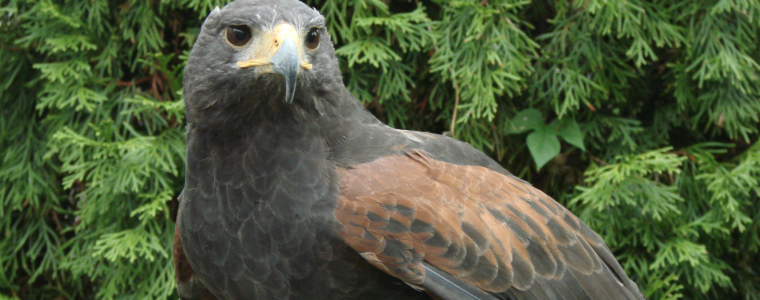 Cheyenne, North America's oldest known captive Harris's Hawk