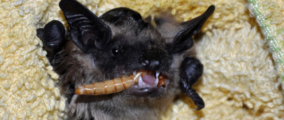 Out in the Dark: Why Should We Look After Our Local Bat Fauna?