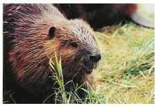 NJ beaver rehab