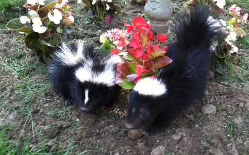 skunk rescue NJ