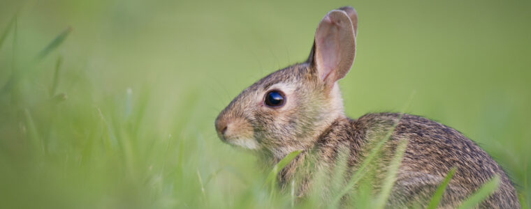 Tularemia: Rabbit Fever