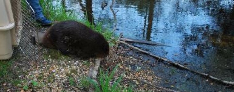 Beaver Rescue